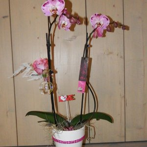 Alice Adventures Valentijn orchidee